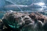 Submerged Hippo Balboa Park and Zoo, San Diego, California - September 2010
