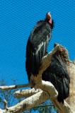Condor Balboa Park and Zoo, San Diego, California - September 2010