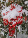 Snow covered Nandina domestica berries