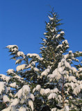 Cypress tree with snow