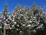 Snowy Cypress trees