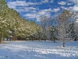 Piney field in winter
