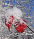 Red leaves with snow