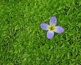 A bluet blooming in moss