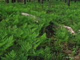 Bracken ferns carpet the forest floor