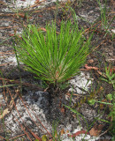 Young long-leaf pine