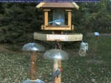 Woodpeckers and blue jay
