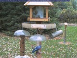 Blue jay and red-bellied woodpecker