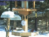 Cardinals and downy woodpecker