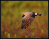Snail kite (male)