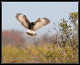 Snail kite (female)