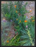 Butterfly weed, purple prarie clover, little bluestem