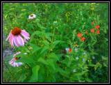 Coneflower, royal catchfly, monarda (wild bergamot)