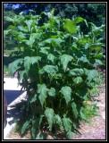 Cupplant
