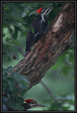 Pileated woodpeckers (female)