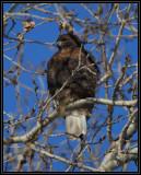Red-tailed hawk (dark)
