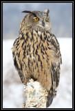 Eurasian eagle owl (captive) ©  Liz Stanley