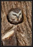 Saw whet owl (captive) ©  Liz Stanley