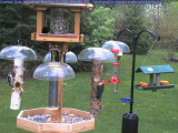 Red-bellied and downy woodpecker, red-winged blackbird