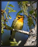 Blackburnian warbler ©  Liz Stanley