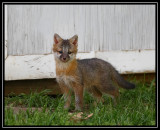 Fox kit (neighbor's yard)