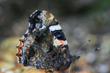 Dark side of a Red Admiral