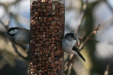 Coal tit and Long tailed tit