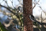 pair of Long Tailed tits.