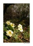 primroses in the wood