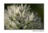 wild garlic closer