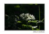 wild garlic and nettles