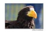 Sea Eagle (Stanhope Show)