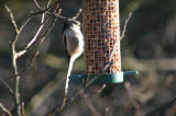 long tailed tit.jpg