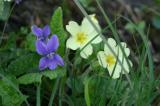 viola and primula
