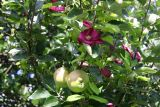 apple and clematis.