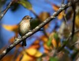 Yellow-rumped Warbler 1405