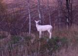Albino White-tailed Deer 3622a