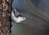 White-breasted Nuthatch 3323