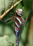 Darners (Family Aeshnidae)
