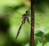 Dragonflies 2008