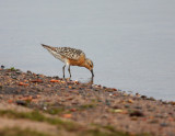 Red Knot 2232
