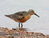 Red Knot 2385
