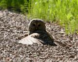 Barred Owl 2503