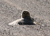 Barred Owl 2507