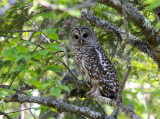 Barred Owl 2536