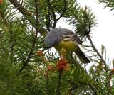 Kirtland's Warbler 9402