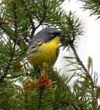 Kirtland's Warbler 9403