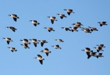 Cackling Geese 3720