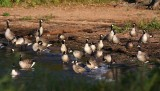 Cackling Geese 2495