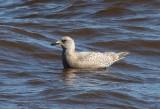 Thayer's Gull 3822